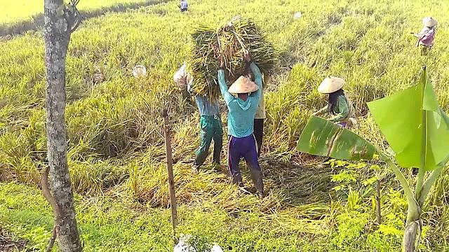 kalimat bahasa jawa untuk para petani sawah