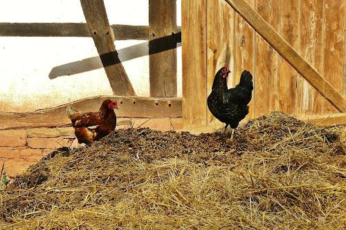 Esterco de galinha, após curtido se torna um excelente adubo rico em nutrientes