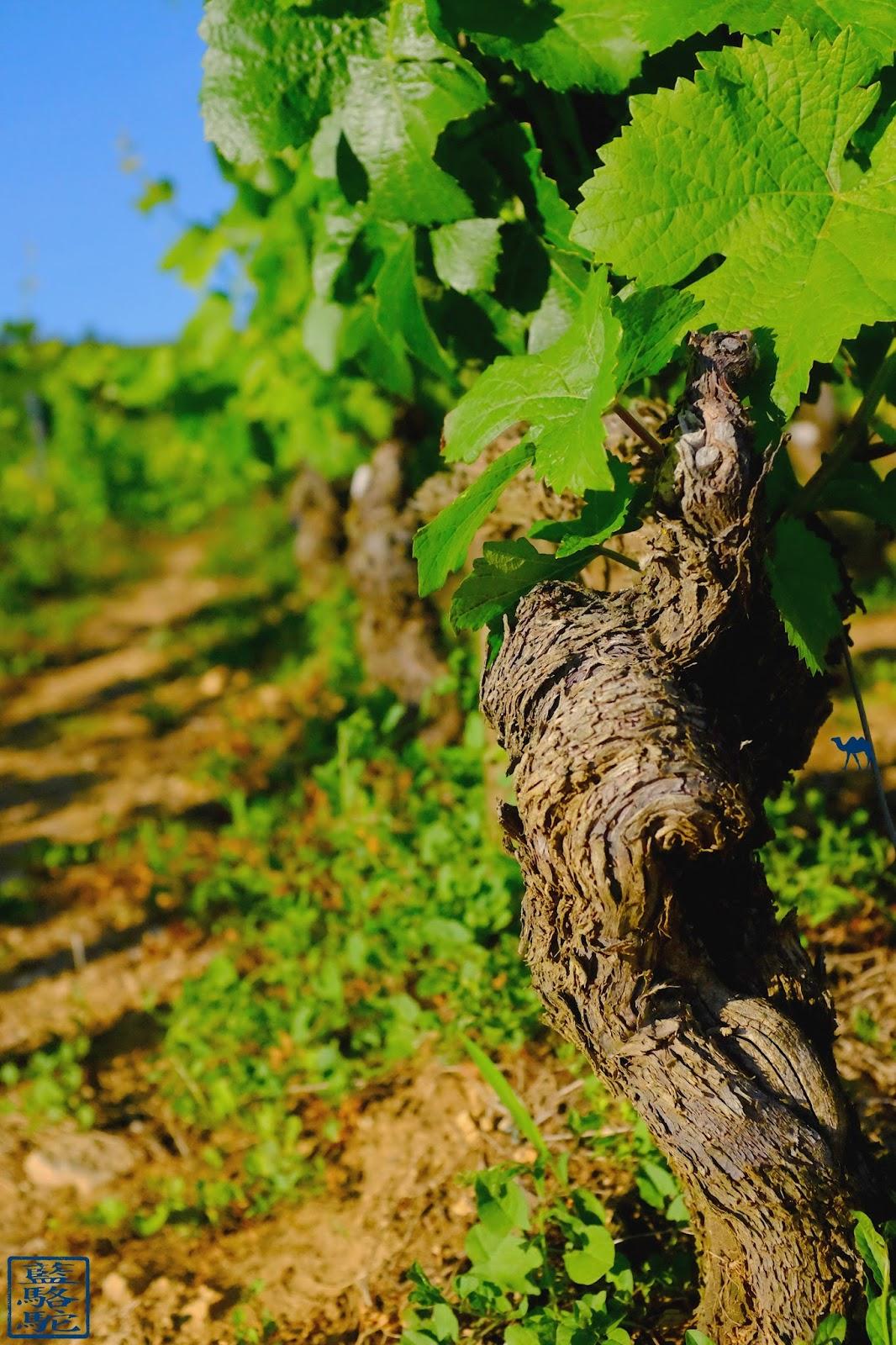 Le Chameau Bleu - Blog Voyage  Santenay Bourgogne - Cep de vigne de Santenay