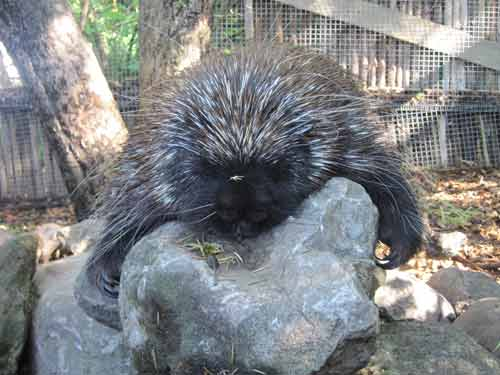 Soper Creek Wildlife Rescue Porcupine