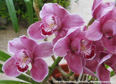 Cymbidium close-up