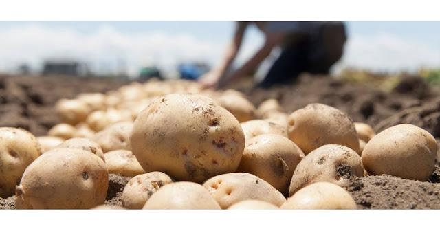 Ζημιές σε μια έκταση 3.500 στρεμμάτων ανοιξιάτικης πατάτας στη Μεσσηνία