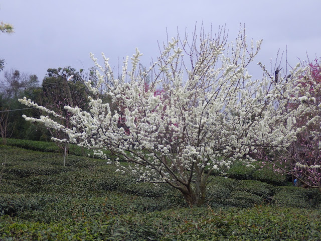 Caopingtou cherry blossoms