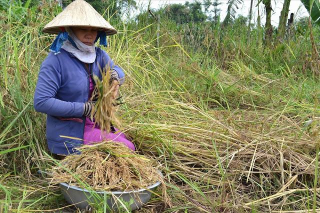 thu hoạch lúa mùa nổi