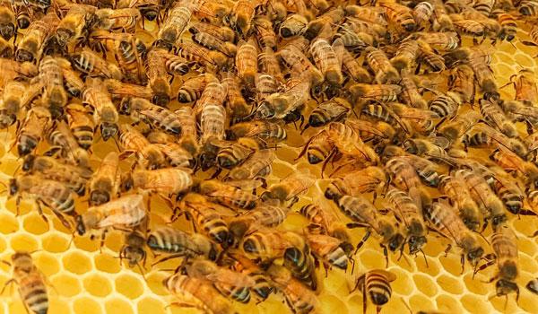 Bagaimana Hukum Mengkonsumsi / Makan Lebah Apakah Halal atau Haram?