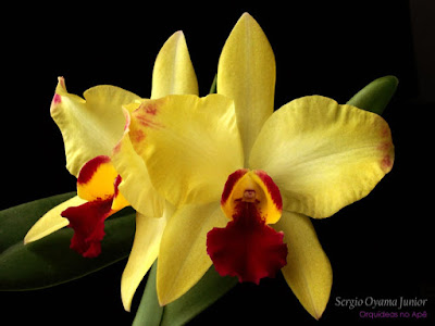 Sophrolaeliocattleya Golden Acclaim 'Richella' Orchid