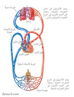 الدورة الدموية الكبرى والصغرى