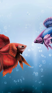 Him & I Betta Fish Mobile HD Wallpaper
