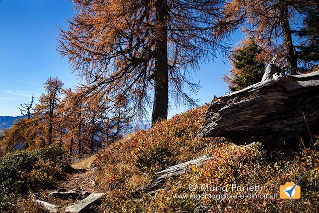 Larici autunnali in valle Vigezzo