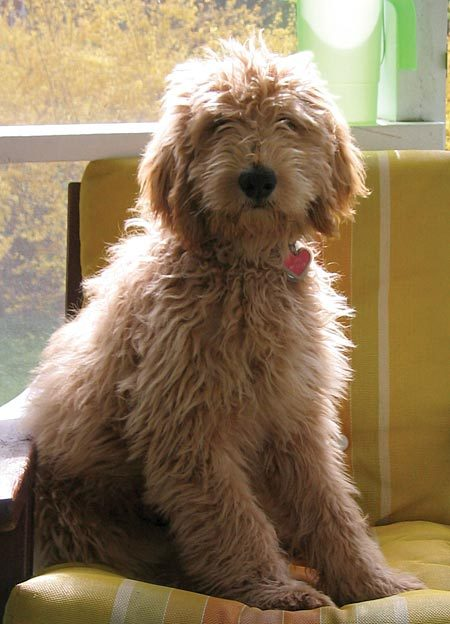 Goldendoodle Thursday Sunshine Guerrilla