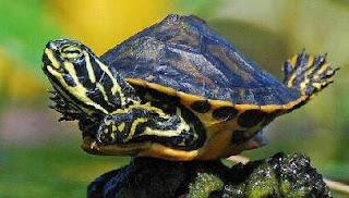 kura-kura belajar terbang