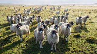 Ovejas drogadas de Gales