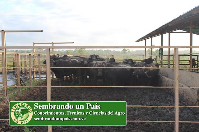búfalos en corral