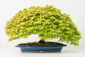 cuanto cuesta un bonsai shakan