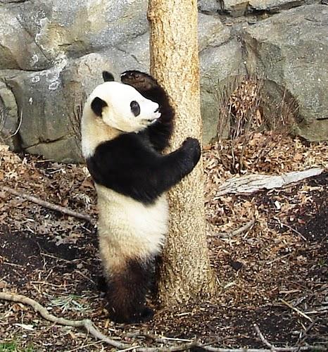 Simpatica fotografia oso panda