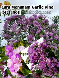 Garlic vine atau stevanot