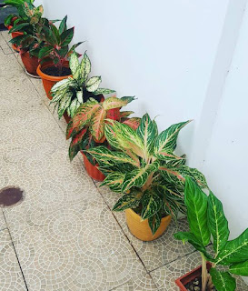tanaman hias sri rejeki
