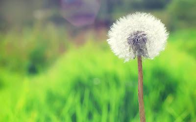 صور ورد وأزهار مميزة countryside_dandelio