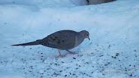 Mourning dove feeding on sunflower seeds – PEI, March 4 2014, © Denise Motard