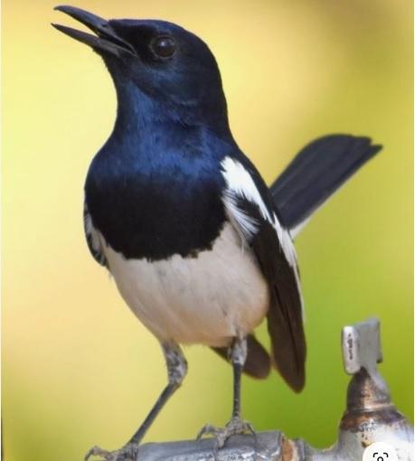 Kicauan Burung Kacer Gacor Jenis Dan Caranya Giant Fahrianto