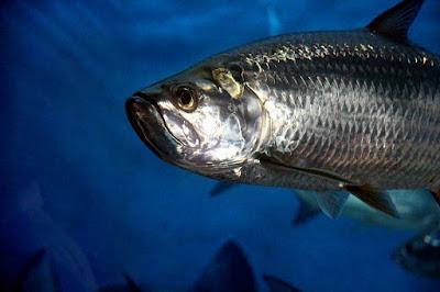Ikan tarpon