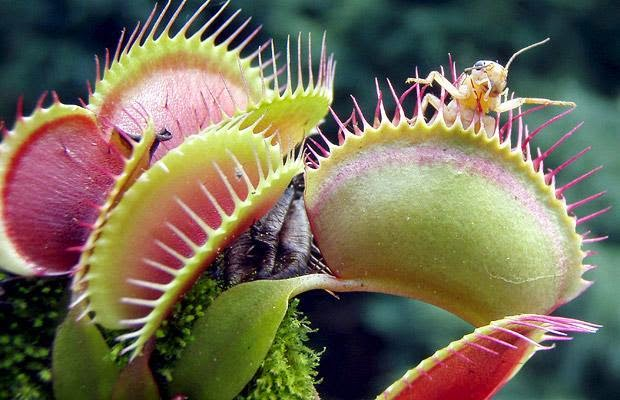 Carnivorous Plants that Eat Animals - Talk and Chats All ...