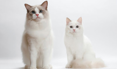 Ragdoll Cat Couple