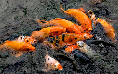 cara budidaya pembesaran ikan mas konsumsi