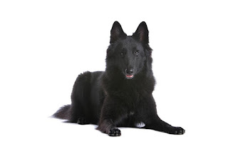 Everything about your Belgian Sheepdog