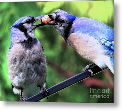 This is a screen shot of one of my images of Blue Jays which has been rendered on to metal and is available in different sizes via Fine Art America. https://fineartamerica.com/featured/blue-jays-wooing-2-patricia-youngquist.html?product=metal-print