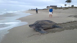 Μια από τις μεγαλύτερες θαλάσσιες χελώνες που έχουμε δει ποτέ (Βίντεο)