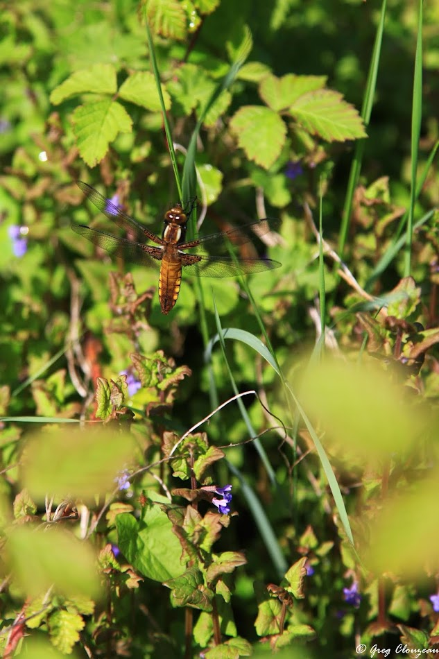 Femelle Libellula depressa , Pays de Fontainebleau
