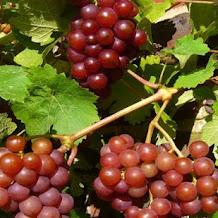 Anggur Merah, Manfaat dari Alam Untuk Kecantikan Wajah