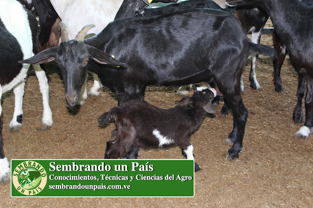 lactancia materna en cabras