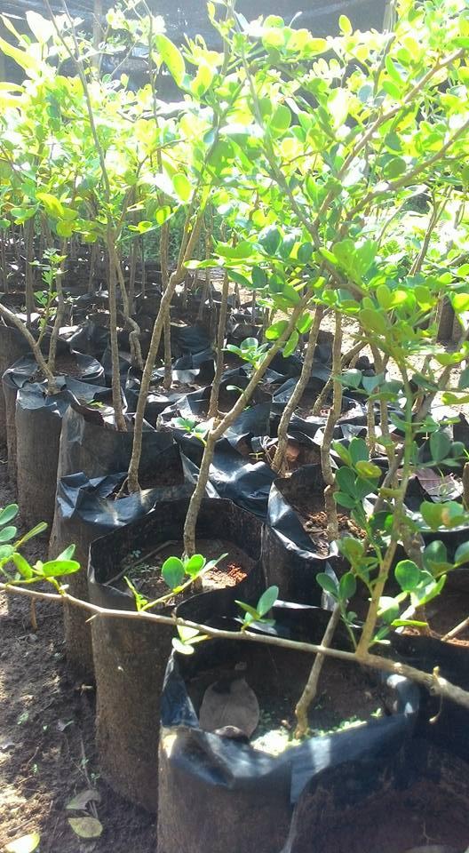 bibit pohon kawista