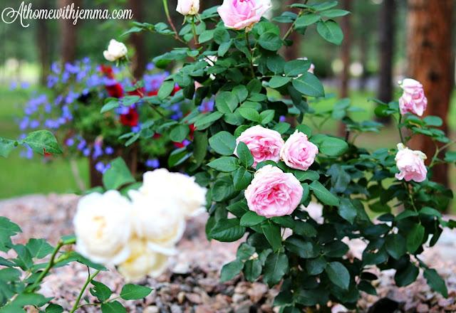 roses, rose, garden, david, austin, gardening, tips