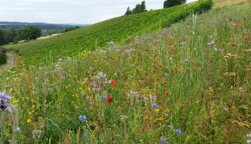Roland Lenz, Biowinzer: «Biodiversität erhöht die Qualität des Weins»