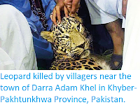 https://sciencythoughts.blogspot.com/2019/09/leopard-killed-by-villagers-near-town.html