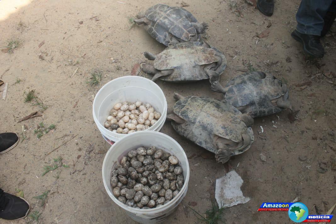 SEMMA Óbidos  resgata 4 tracajás e aproximadamente 800 ovos.