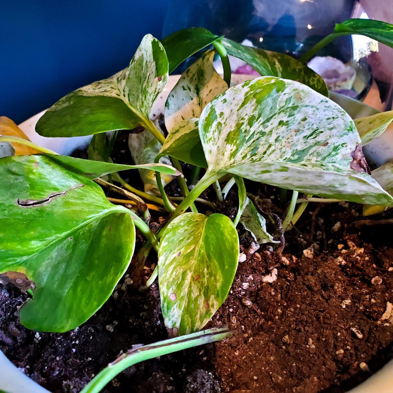 variegated pothos