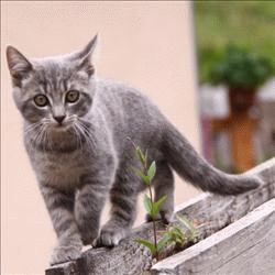 Os gatos domésticos atuais são uma adaptação evolutiva dos gatos selvagens. Cruzamentos entre diferentes espécimes os tornaram menores e menos agressivos aos humanos.[13] Os gatos foram domesticados primeiramente no Oriente Médio nas primeiras vilas agriculturais do Crescente Fértil.[14][15] Os sinais mais antigos de associação entre homens e gatos datam de 9 500 anos atrás e foram encontrados na ilha de Chipre.