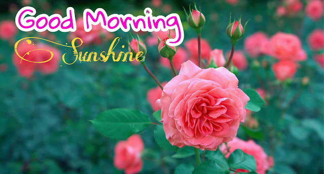 Good Morning Images With Pink Rose Flower