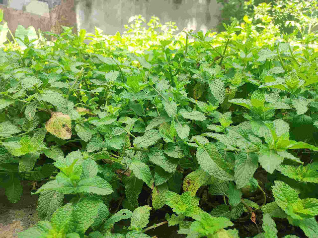Mint Leaves plant - NewsTrends