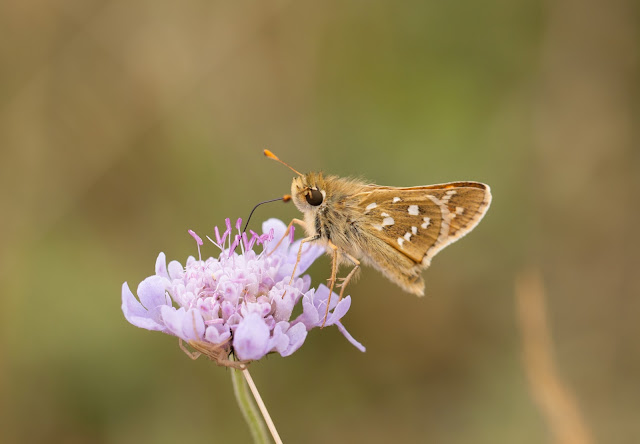 Silver-spotted Skipper - Oxfordshire