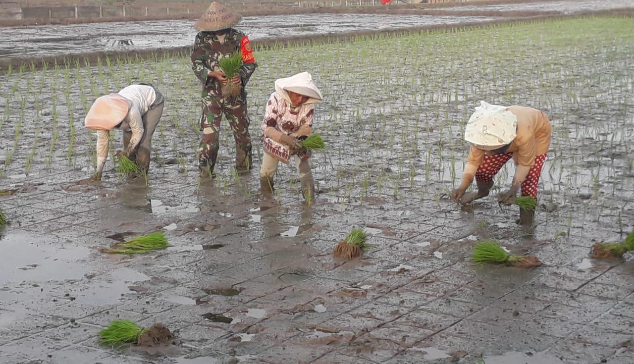Babinsa Koramil 410-04/TKT Kodim 0410/KBL Serka Agus Raharjo bersama dengan kelompok Tani (Mitra Karya) melakukan Budidaya tanam padi di Sawah