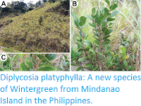 https://sciencythoughts.blogspot.com/2016/10/diplycosia-platyphylla-new-species-of.html