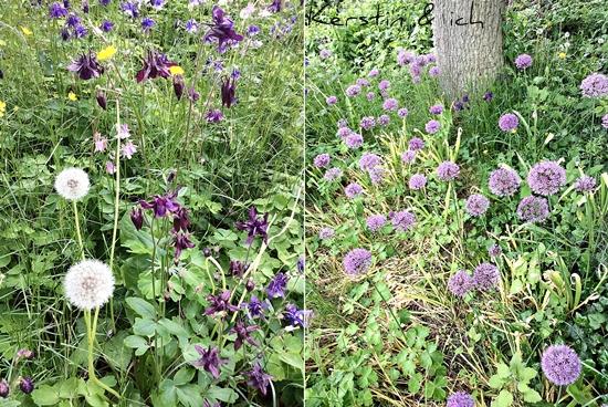 Blumenwiese mit Akelei, Allium und Butterblumen