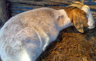Boer in labor, birthing goats, how to tell if Boer goat is in labor, births on the homestead, animal husbandry