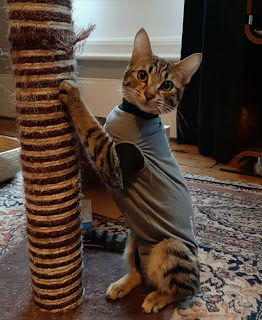 tabby cat wearing grey vest and scratching scratch post