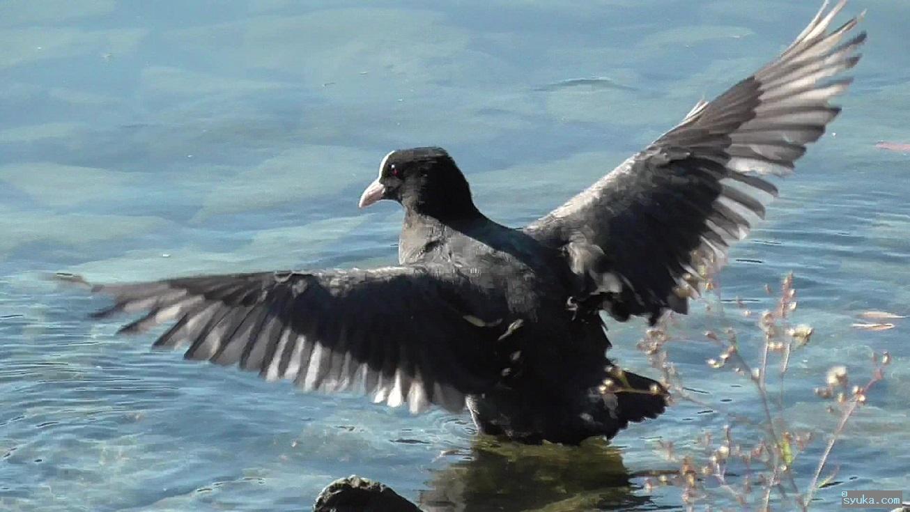 羽を広げるオオバン